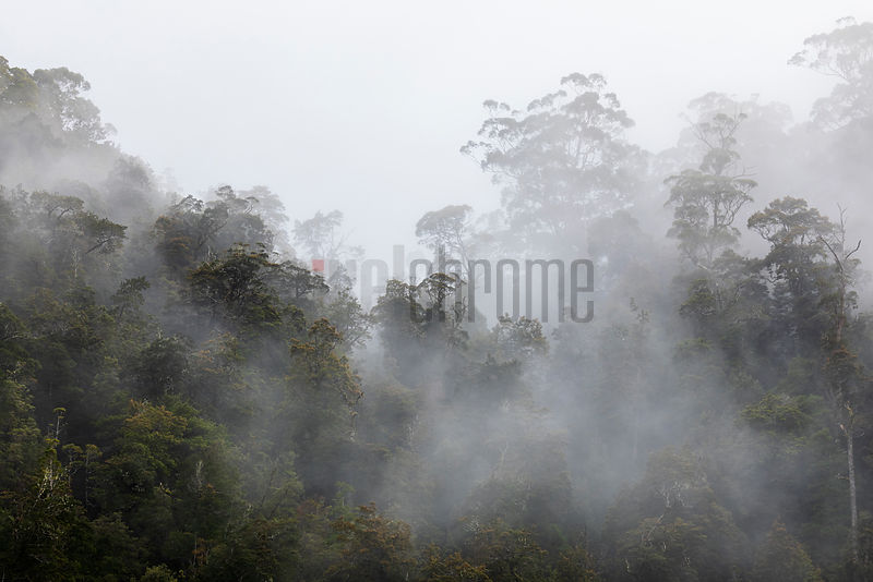 Early Morning Mist in the Tarkine Rainforest