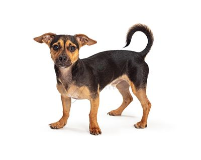 Cute small pet dog mixed standing isolated
