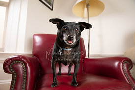 Black Chihuahua Mix Dog on Red Leather Chair Sticking Tongue Out