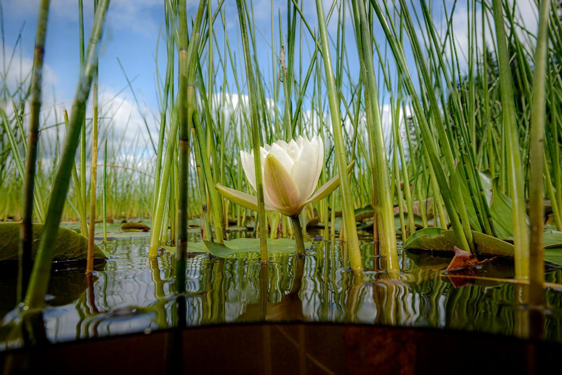 Common wild pond lily, Nymphaea odorata, among other reeds on Cape Breton Island, Nova Scotia.