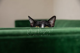 Tuxedo Cat Hanging over Green Couch Arm
