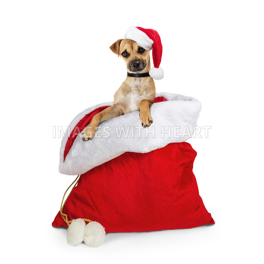 Cute Dog in Santa Christmas Sack