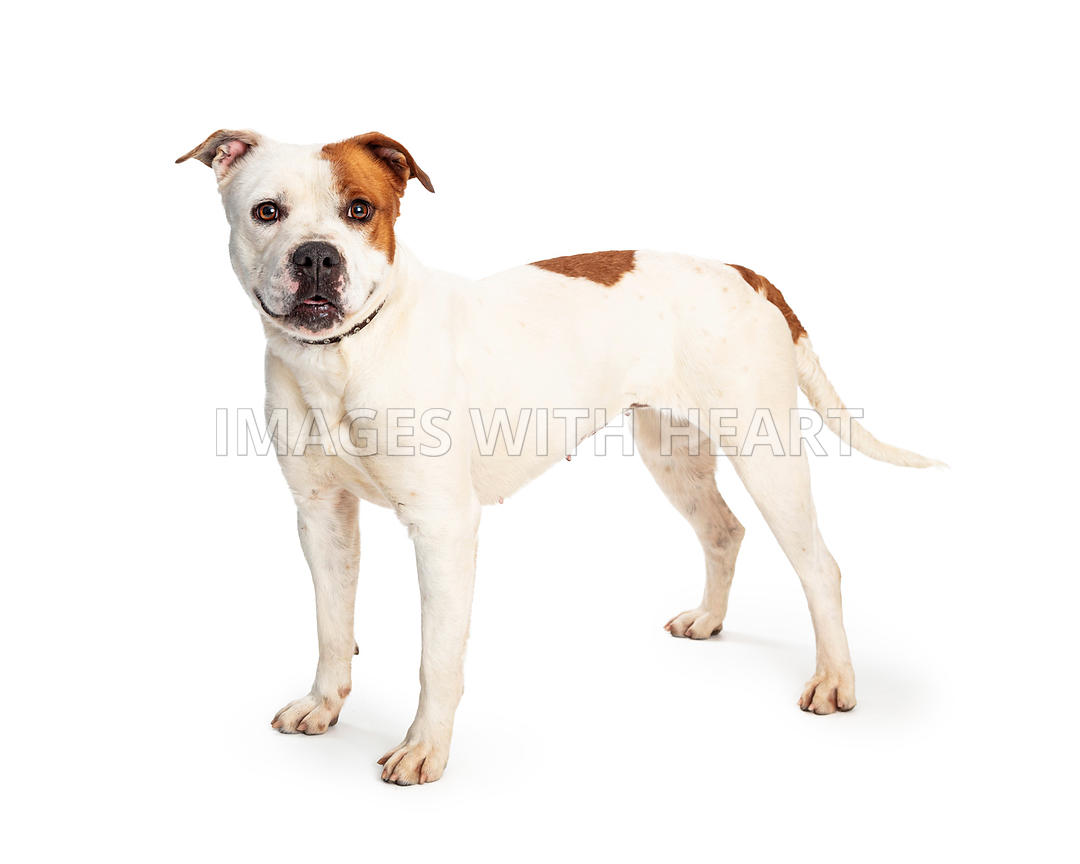 Pit Bull White Brown Spots Standing Side