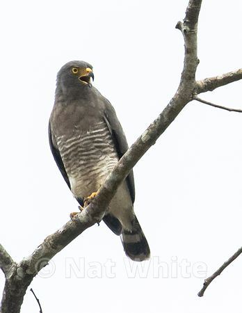 Amazon_river_jungle_hawk-March_09_2020_