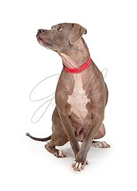 Attentive Blue Staffordshire Terrier Dog Looking Side