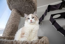 Low-angle Photo of Ragdoll Kitten on Cat Tree
