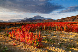 Field of Royal Quinoa / Quinua Real (Chenopodium quinoa), Tunupa volcano in background, Marka Vinto, Bolivia