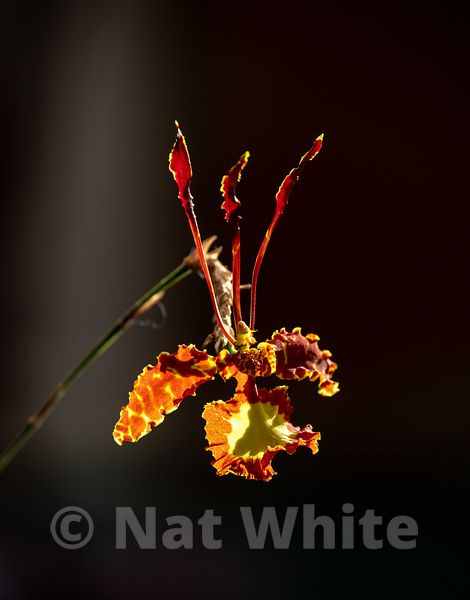Psychopsis_orchid-March_21_2021_NAT_WHITE