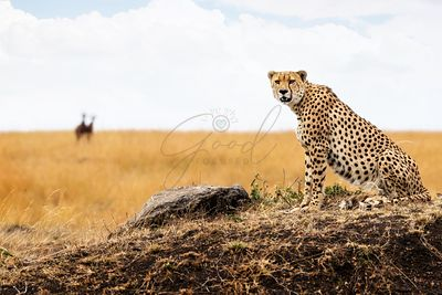 Cheetah in Africa Looking Into Camera