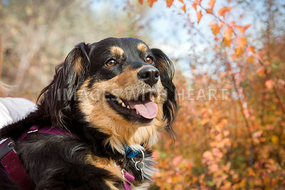 Tan and Black Spaniel Mix Happy Friendly with Autumn Leaves