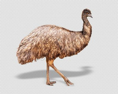 Emu Bird Facing Side Extracted
