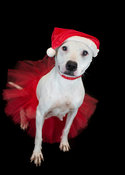 Dog sitting wearing red Santa hat and red tutu