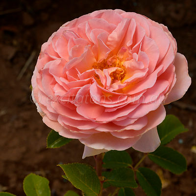 Rose Abraham Darby.